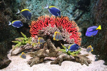paracanthurus: Underwater scene with corals and beautiful tropical fish - hepatus; blue tang Stock Photo
