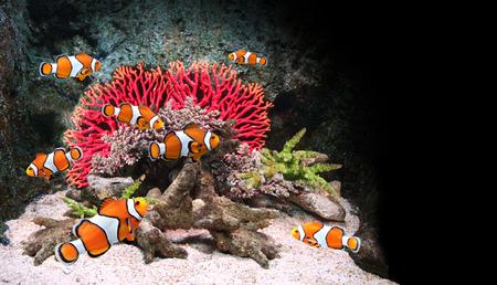 damselfish: Sea corals and clown fish in marine aquarium. On black background