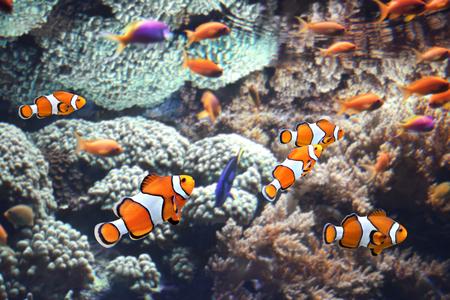 damselfish: Sea corals and clown fish in marine aquarium