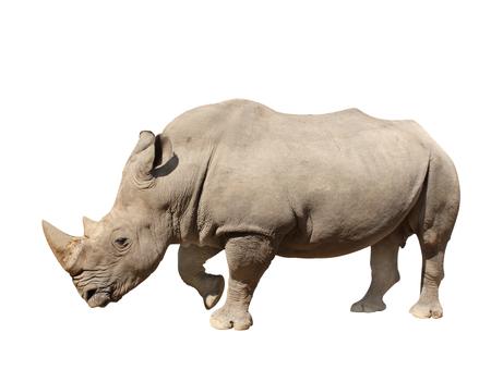 single animal: White rhinoceros (square-lipped rhinoceros, Ceratotherium simum). Isolated on white background Stock Photo