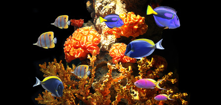 Underwater scene with corals and beautiful tropical fish - hepatus; blue tang. On black background with copy space
