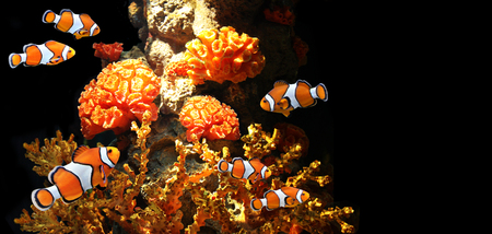 damselfish: Sea corals and clown fish in marine aquarium. On black background with copy space
