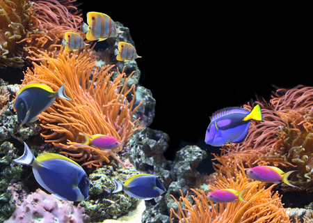 Underwater scene with beautiful tropical fish - hepatus; blue tang. Isolated on black background with copy space