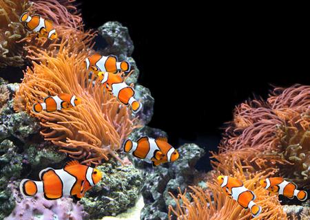 damselfish: Sea anemone and clown fish in marine aquarium. On black background witn copy space