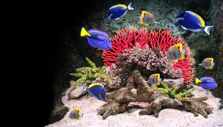 Underwater scene with corals and beautiful tropical fish - hepatus; blue tang. On black background Stock Photo