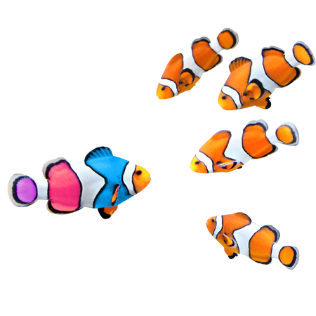 Concept - to be yourself, to be unique. A flock of standard clownfish and one colorful fish. Isolated on white background Stockfoto