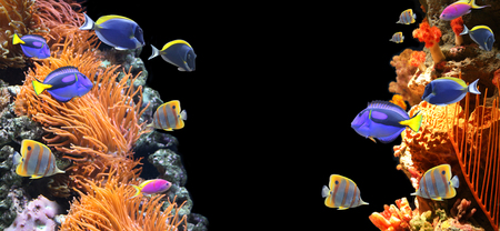 Underwater scene with corals and beautiful tropical fish - hepatus; blue tang. On black background with copy space for your text