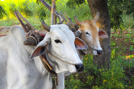 Two asian oxen close-up. On green sunny bakground. Myanmar (Burma)