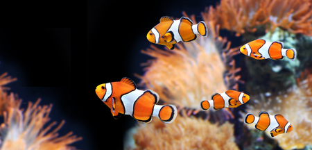 Sea anemone and clown fish in marine aquarium. On black background. Copy space for your text Imagens