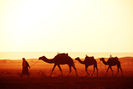Caravan of camels in Sahara desert, Morocco. Driver-berber with three camels dromedary on sunrise sky background
