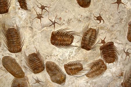 ヒトデの化石や石で三葉虫の化石