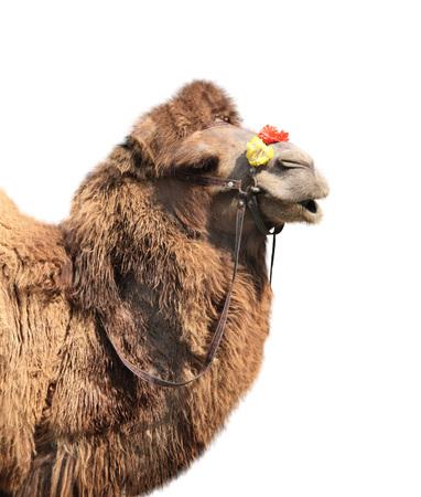 Bactrische kameel (Camelus bactrianus). Geïsoleerd op witte achtergrond