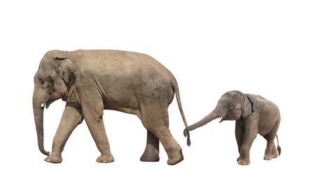 Familia de elefantes que camina: mamá y bebé (Elephas maximus). Pequeño elefante es sostenido por el tronco por la cola de su madre. Aislado en el fondo blanco
