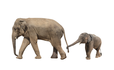 Walking family of elephant - mom and baby (Elephas maximus). Small elephant is held by the trunk by the tail of his mother. Isolated on white background Stock Photo - 89350633