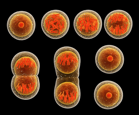 Mitosis process, division of cell. Isolated on black background. 3d render Foto de archivo