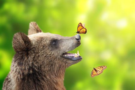 Vrolijke bruine beer (Ursus-arctos) met monarchvlinderzitting op zijn neus. Op zonnige groene achtergrond
