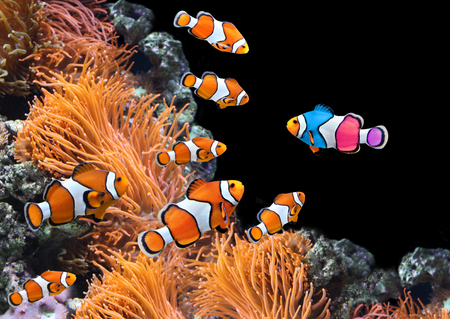 Concepto - ser uno mismo, ser único. Un rebaño de clownfish estándar y un pescado colorido. Sobre fondo negro