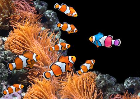 Koncepcja - być sobą, być wyjątkowym. Stado błazenków i jedna kolorowa ryba. Na czarnym tle
