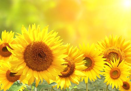 Girasoles amarillos brillantes en el fondo de sol borrosa Foto de archivo - 90735195