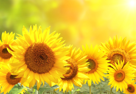 Bright yellow sunflowers on blurred sunny background