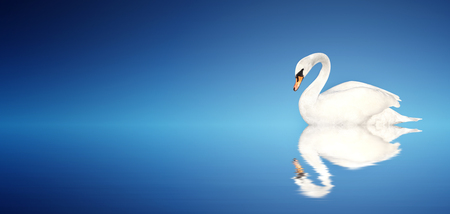 Mute swan on blue background. Copy space for text. Mock up template Stock Photo
