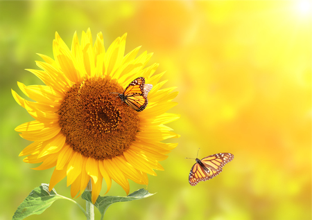 Sunflower and monarch butterflies (Danaus plexippus, Nymphalidae) on blurred yellow sunny background. Copy space for your text Stock Photo