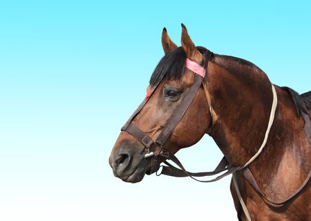 Portrait of a brown horse on blue sky background. Copy space for text Stock Photo