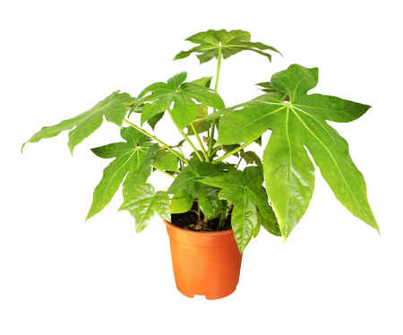 Decorative home plant Japanese fatsia (Fatsia japonica) in a pot. Isolated on white background 스톡 콘텐츠