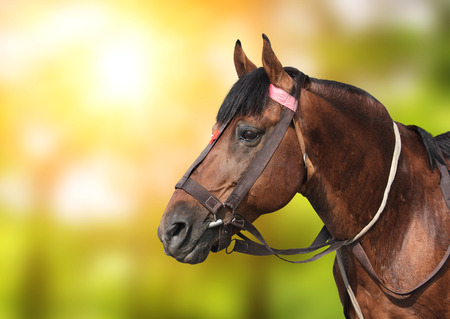 Portrait of a brown horse on green sunny background Stock Photo
