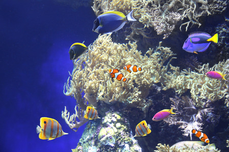 Underwater scene with beautiful tropical fish - hepatus; blue tang, clown fish. On blue background