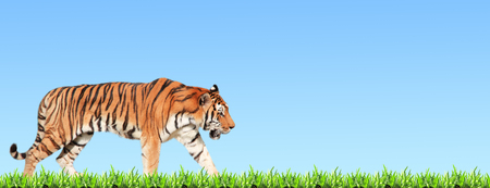 Horizontal banner with walking tiger and green grass. On blue sky background Stockfoto