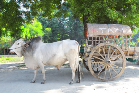 """Exotic burmese taxi. A wooden cart, harnessed by a bull, with the inscription """"taxi"""" on a wicker roof. Mingun, Mandalay, Myanmar (Burma)"""