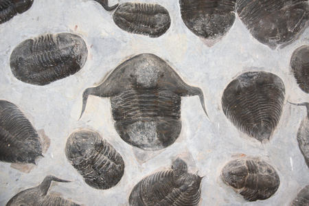 Petrified fossil trilobites in stone 写真素材