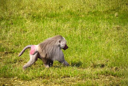 Male monkey hamadryad (Papio hamadryas, genus of baboons) walking on green grass 版權商用圖片