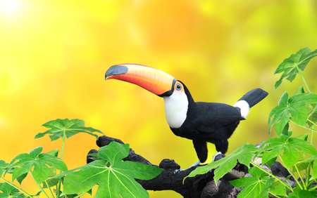 Horizontal banner with beautiful colorful toucan bird (Ramphastidae) on a branch On sunny background of yellow color. Mock up template. Copy space for text