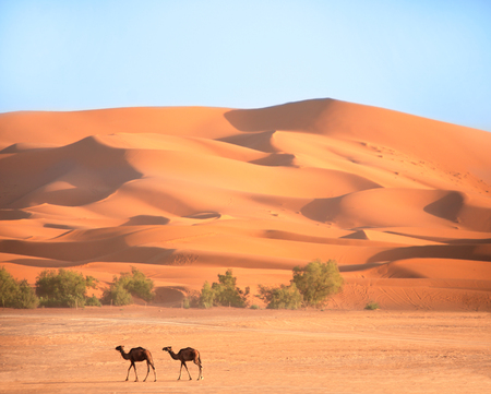 Two camels in Sahara desert, Morocco, Africa. Dromedaries go near the sand dunes on blue sky background
