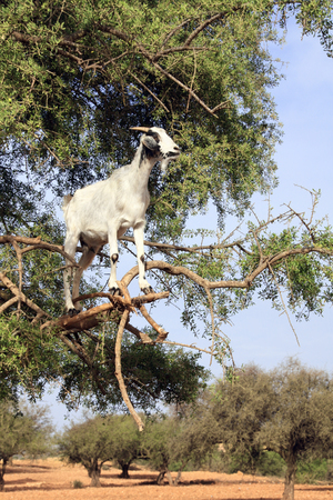 Famous moroccan scene - goat on the argan tree, Morocco, North Africa