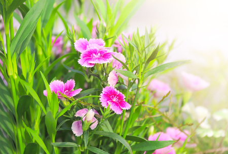 Spring sunny background with pink carnation flowers. Copy space for text. Mockup template 写真素材