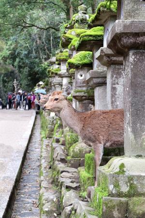 Cute deer and old stone japanese lanterns at Kasuga Grand Shrine (Kasuga-Taisha Shrine), Nara, Japan.    site