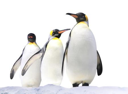 Three Emperor penguins (Aptenodytes forsteri) on snow. Isolated on white background