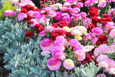 Ranunculus flowers on flower bed in Yamashita park, Yokohama, Japan