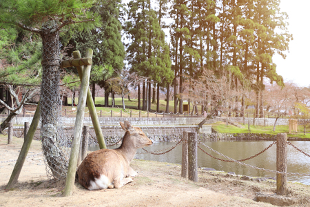 Cute sika deer (Cervus nippon) resting by the lake in the park near to Todaiji Temple (Great Eastern Temple), Nara, Japan Stock Photo