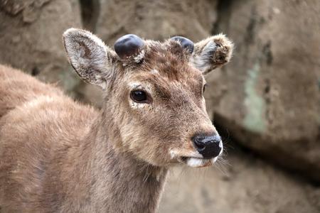 Close-up portrait of sika deer (Cervus nippon), Nara, Japan Stock Photo