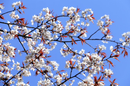 Branch of the blossoming sakura with white flowers, Japan. On blue sky background