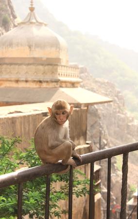 Monkey in Galta Ji Mandir Temple (Monkey Temple) near to Jaipur, India