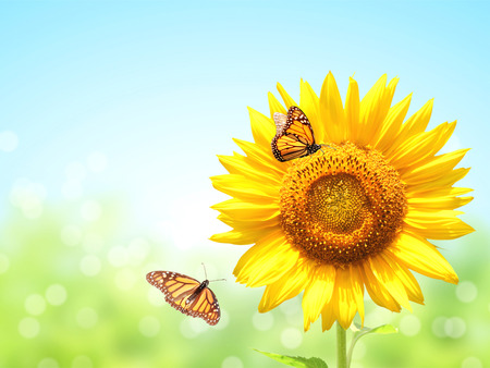 Bright yellow sunflower and two butterflies monarch (Danaus plexippus, Nymphalidae) on blurred sunny background of green and blue color. Mock up template. Copy space for text