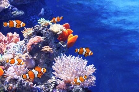 Tropical sea corals and clown fish (Amphiprion percula) in marine aquarium. Copy space for text