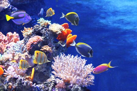 Underwater scene with beautiful tropical fish - hepatus; blue tang. On blue background. Copy space for text Reklamní fotografie