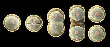 Processus de mitose, division de la cellule. Isolé sur fond noir. rendu 3D