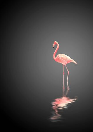 Flamingo on black background with reflection in water. Copy space for your text